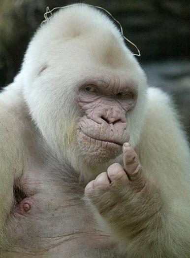 white-ape